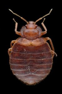 Bed Bug Sizes