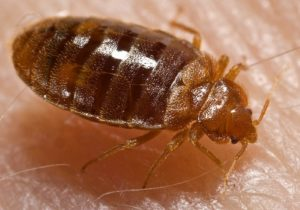 Bed-bug-signs-symptoms
