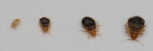 bed-bug-larvae
