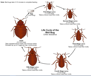 bed-bug-life-cycle